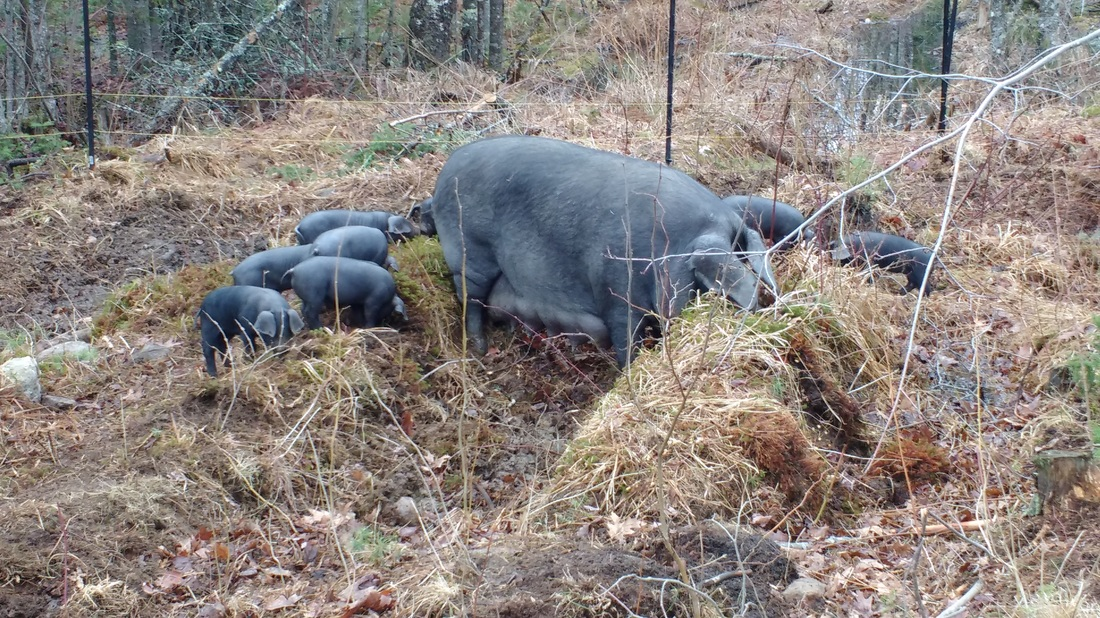 Large Black Sow (Poppy) with her piglets doing a little landscaping. Picture