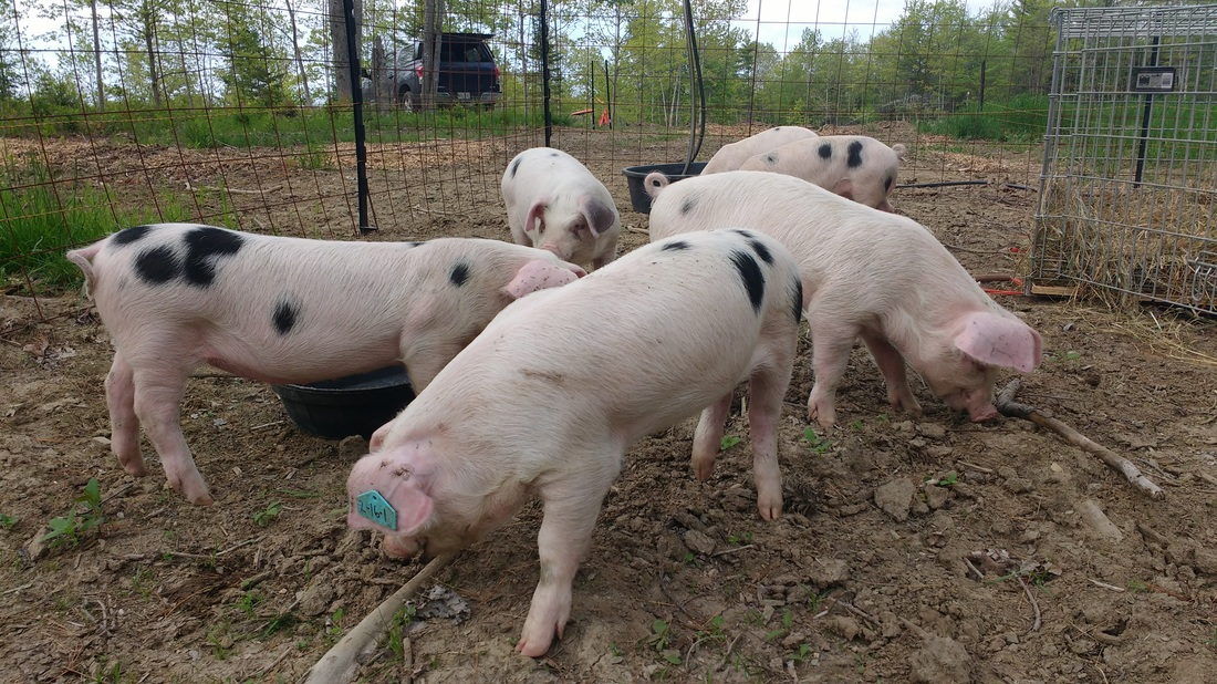 Gloucestershire Old Spot Piglets checking out their new training pen at Greener Days Farm in Waldoboro, ME! Picture